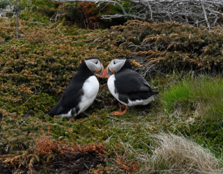 Pair of puffins beak to beak 8-18